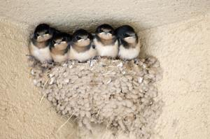 Nesting Barn Swallows