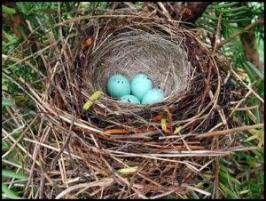 Chipping Sparrow Nest with Eggs