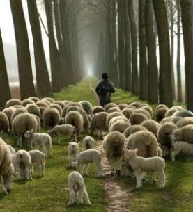 sheep-with-shepherd[1]