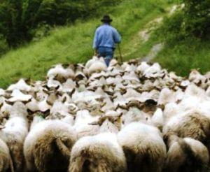 shepherd%20leading%20sheep[1]