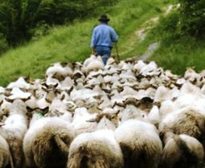 shepherd%20leading%20sheep[1]