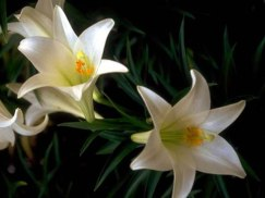 new_easter_lilies[1]