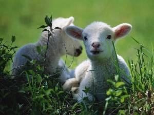 lambs[1]