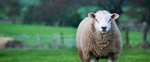 Amos sheep