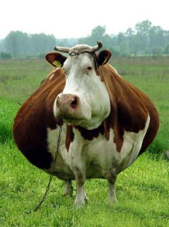 fat_cow[1]