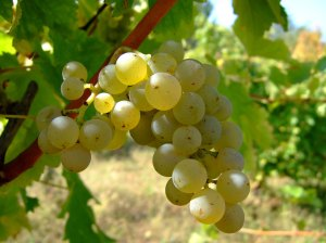 Sauvignon_blanc_vlasotince_vineyards[1]