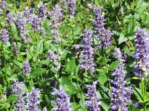 giant_hyssop_large[1]