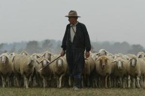 shepherd-sheep-10[1]