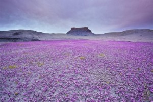 These flowers are called Scorpion Weed and bloom only once in several years . . . to bring new life to the desert.