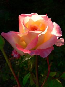 rose[1]