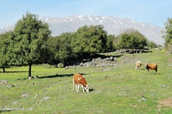 Cows of Bashan and Mount Hermon