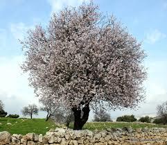 An Almond Tree