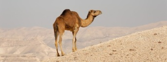 Camel in the Judean Wilderness