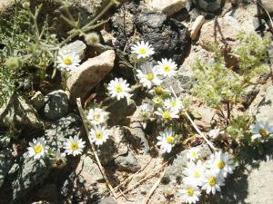 The Desert Star grows in the Sonora Desert