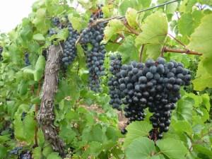 grapes71