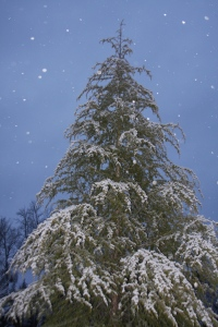 evergreen in snow