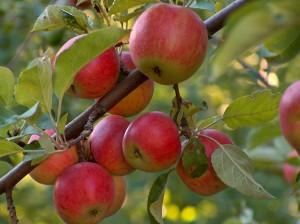 apple-tree-300x224