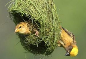 Why-do-birds-build-nest1