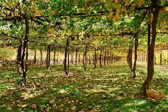 Vineyard in Wadi Biyar