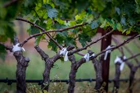 grafting vines